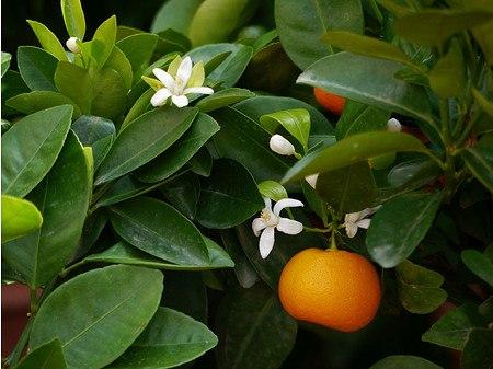 Lubera Zitruspflanze Calamondin