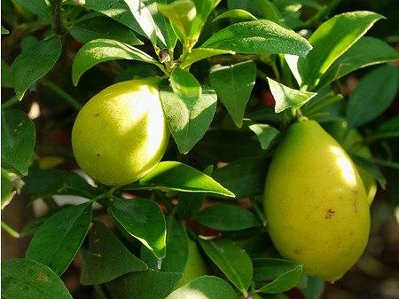Lubera Zitruspflanze Limequat'Tavares'