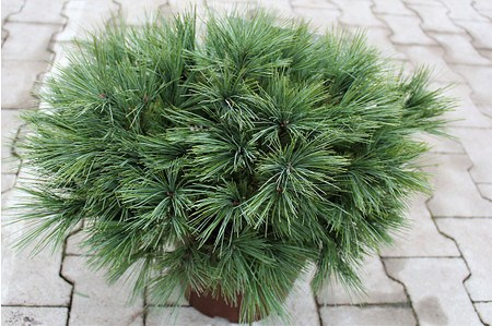 Lubera Zwerg-Seidenkiefer, Kräftige Pflanze im 3 l-Topf, 20-25 cm