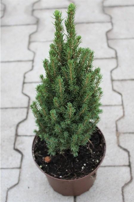 Lubera Zwerg-Zuckerhutfichte 'Zuckerhut', Pflanze im 2 l-Topf, 15-20 cm
