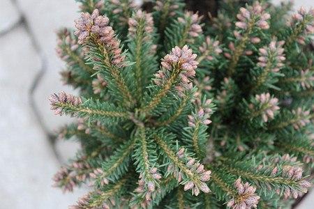 Lubera Zwergfichte 'Pygmaea', Kräftige Pflanze im 2 l-Topf, 15-20 cm