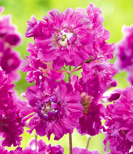"""Lychnis """"Frou Frou Double Pink"""",1 Pflanze"""