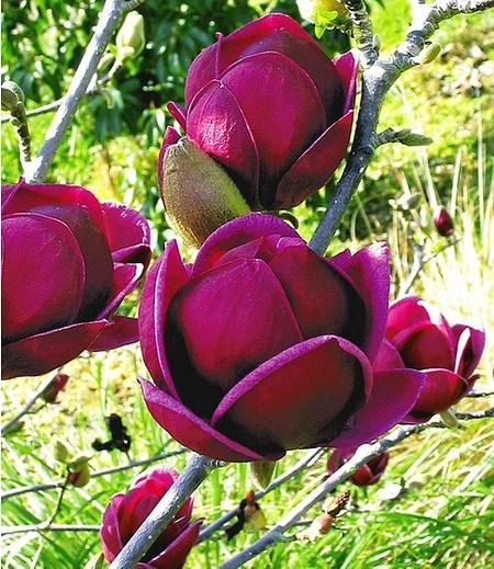 "Magnolie ""Genie®""; 1 Pflanze"