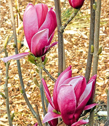 "Magnolie ""March Till Frost"",1Pflanze"
