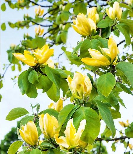 "Magnolie ""Yellow Lantern®"",1 Pflanze"
