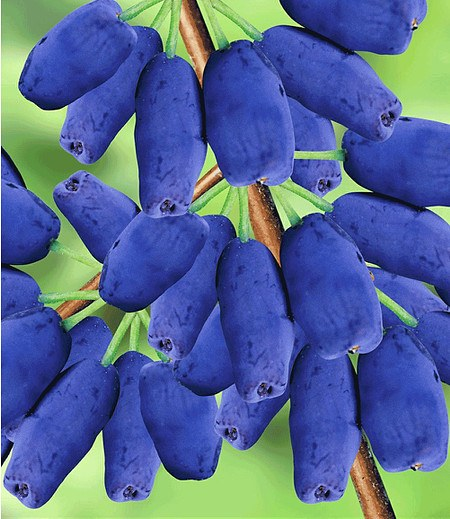 "Maibeere® ""Amur®"",1 Pflanze"