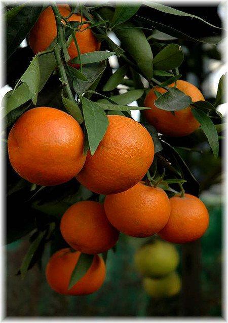 Mandarine Citrus reticulata