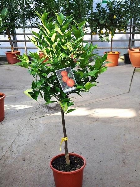 Mandarinenbaum (Hernandina Clementine) - Citrus clementino