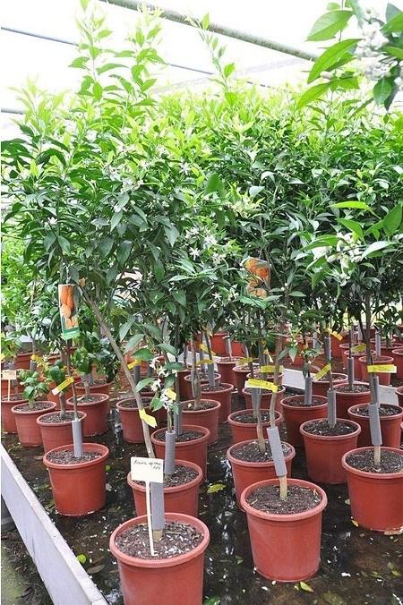 Mandarinenbaum (Mittelmeer Mandarine) - Citrus deliciosa