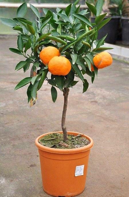 Mandarinenbaum Satsuma Okitsu - Citrus unshiu Okitsu