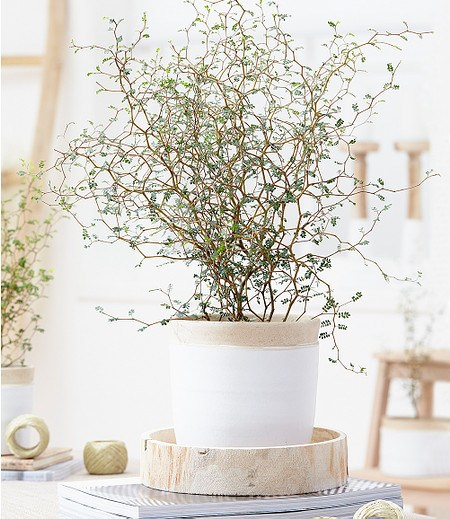"Maori® Sophora prostrata ""Little Baby"",1 Pflanze"