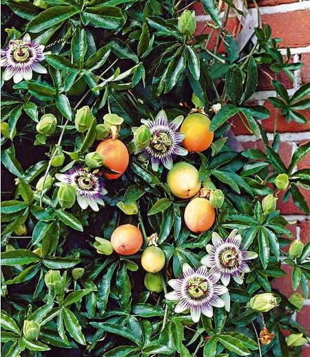 Maracuja-Pflanze,1 Pflanze