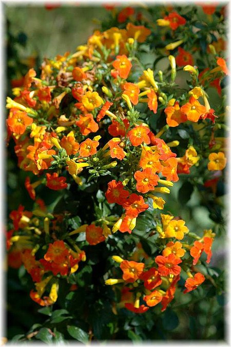 Marmeladenbusch Kanarenblümchen - Streptosolen jamesonii