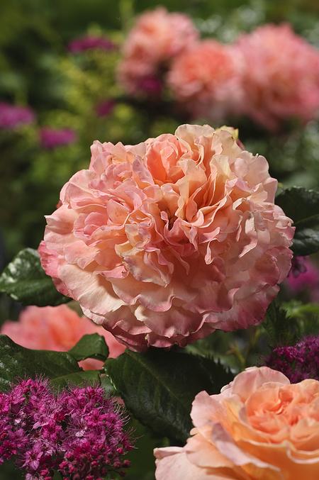 Mein schöner Garten Edelrose 'Augusta Luise®'