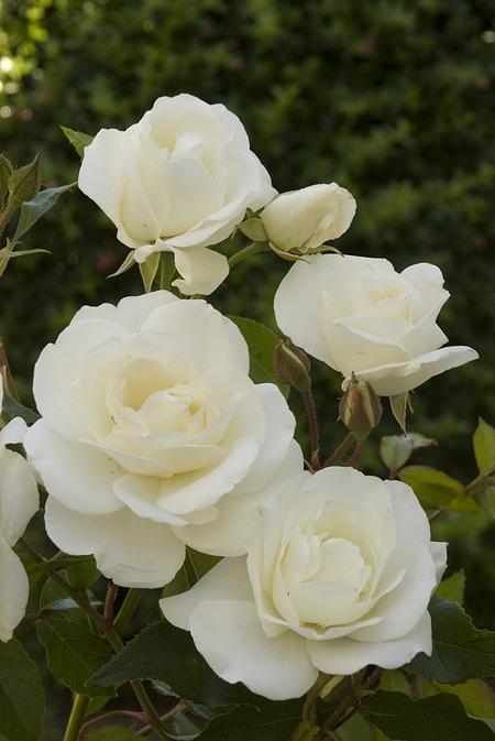 Mein schöner Garten Floribundarose 'Schneewittchen'