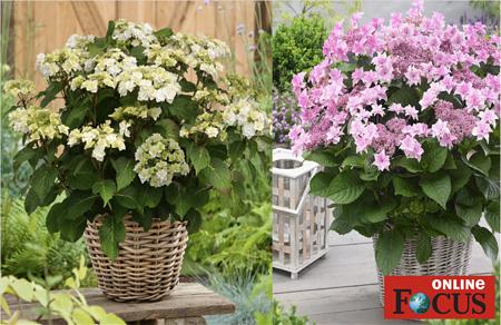 Mein schöner Garten Hortensien Doppio 2-er Set 'Pastel Delight'