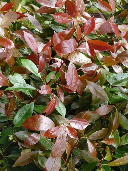 """Mein schöner Garten Photinia Hecken-Set """"Trend Photinia"""", 10 Pflanzen"""