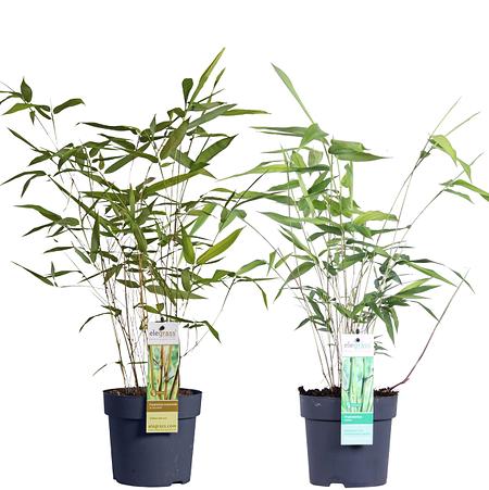Mein schöner Garten Phyllostachys Bambus Set