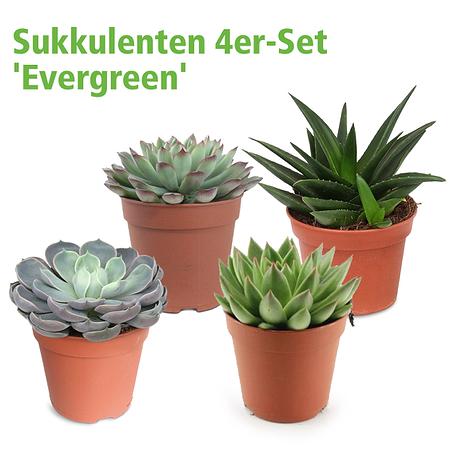 Mein schöner Garten Sukkulenten 4er-Set 'Evergreen'