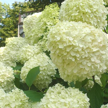 Mein schöner Garten XXL Rispenhortensie 'Limelight'