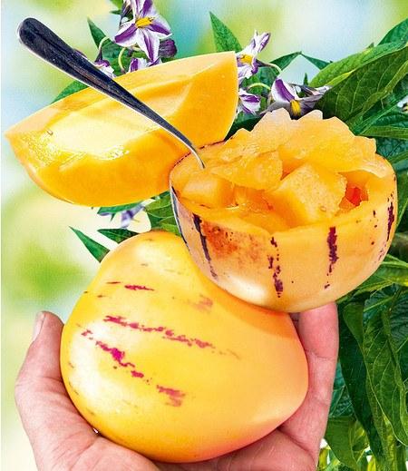"Melonenbirne ""Sugar Gold"",1Pflanze Solanum muricatum"