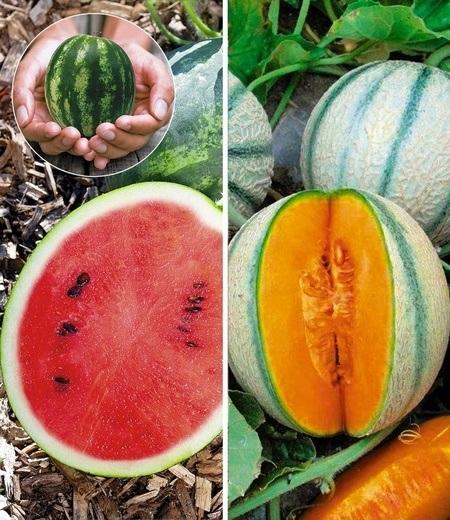 Mini-Melonen-Kollektion,2 Pflanzen