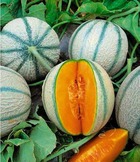 "Mini-Zuckermelone ""Artémis"" 1Pflanze Balkon-Zuckermelone"