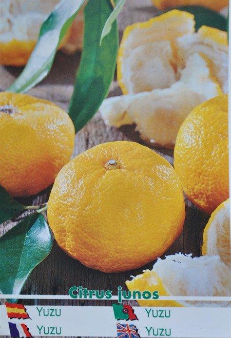 Mittelmeermandarine - Ichandarin Yuzu - Citrus junos