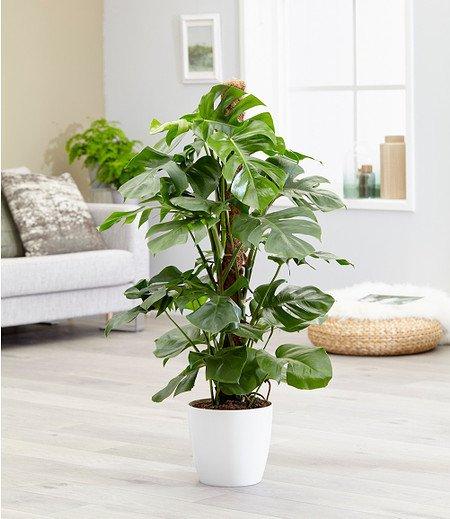 Monstera - Fensterblattca 50 cm hoch,1 Pflanze