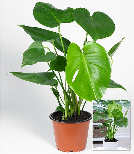 Monstera,1 Pflanze