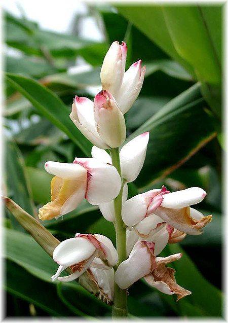 Muschelingwer Alpinia zerumbet