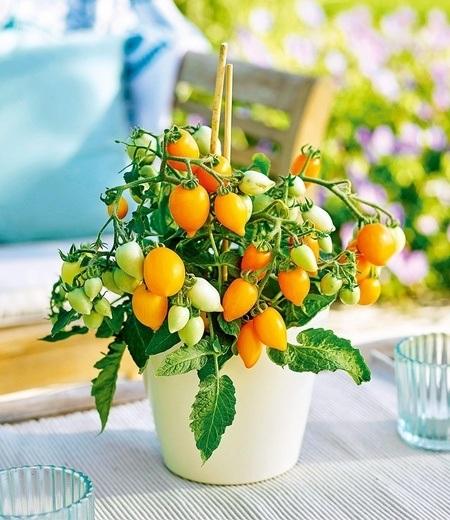 "Niedrige Topf-Tomate Funnyplums® ""Golden Orange"" F1,2 Pflanzen"