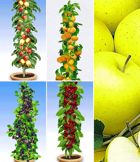 Obst für Balkon & Terrasse,5 Pflanzen