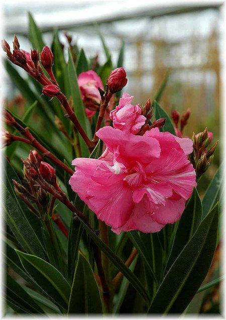 Oleander Nerium oleander gefüllt