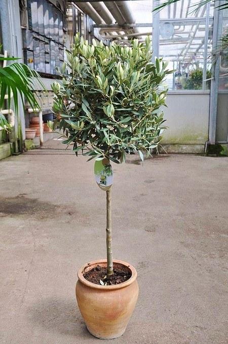 Olivenbaum mit Halbstamm - Olea europea