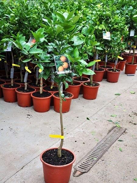 Orangenbaum (Blutorange) - Citrus Sanguinelli