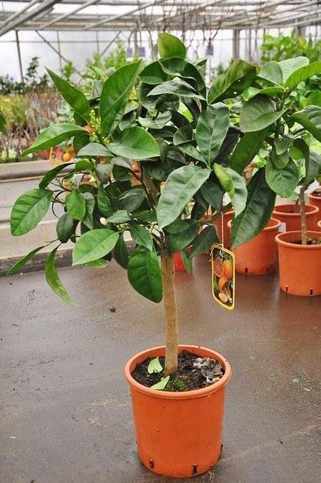 Orangenbaum (Blutorange) - Citrus sinensis