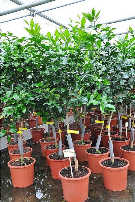 Orangenbaum (Fukumoto) - Citrus sinensis Fukumoto