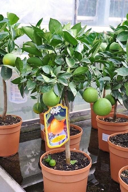 Orangenbaum (Italienische Orange) - Citrus sinensis