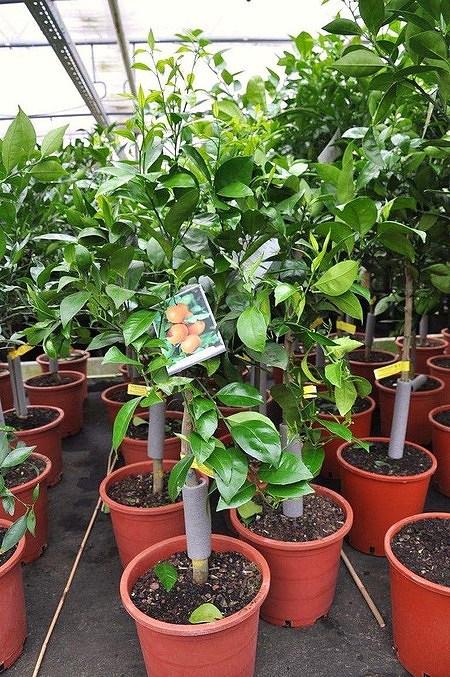 Orangenbaum (Navellina) - Citrus sinensis Navelina