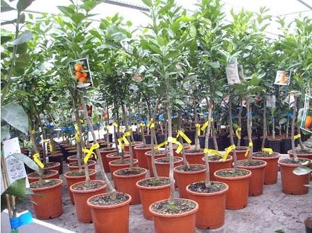 Orangenbaum (Salustina) - Citrus sinensis Salustina