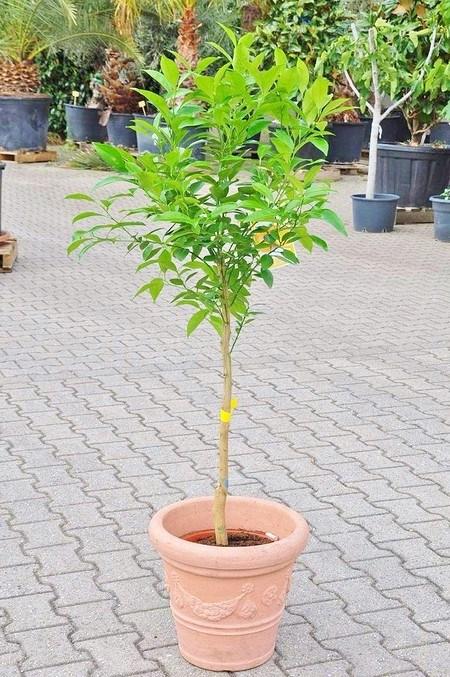 Orangenbaum (Spanische Orange) veredelt - Citrus sinensis