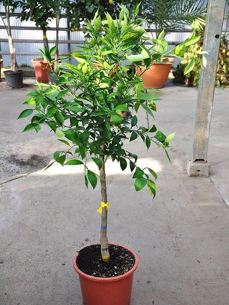 Orangenbaum (Sucrena) - Citrus sinensis Sucrena