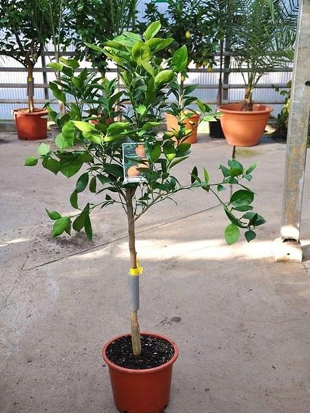 Orangenbaum (Valencia Delta) - Citrus sinensis Valencia Delta