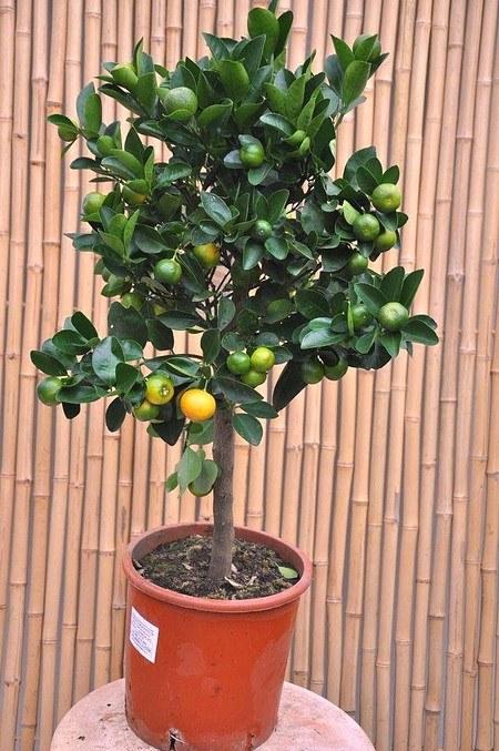 Orangenbaum (Zwergorange, Calamondine) - Citrus mitis