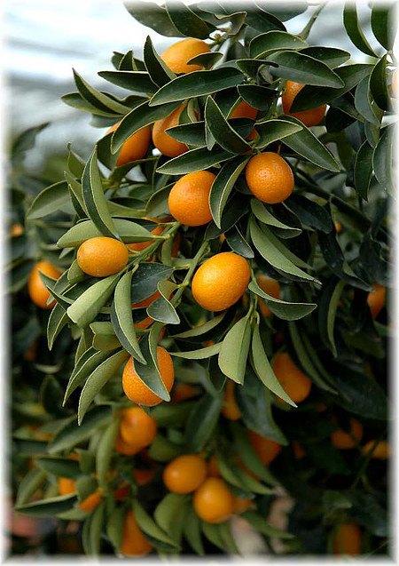 Ovale Kumquat Fortunella margarita