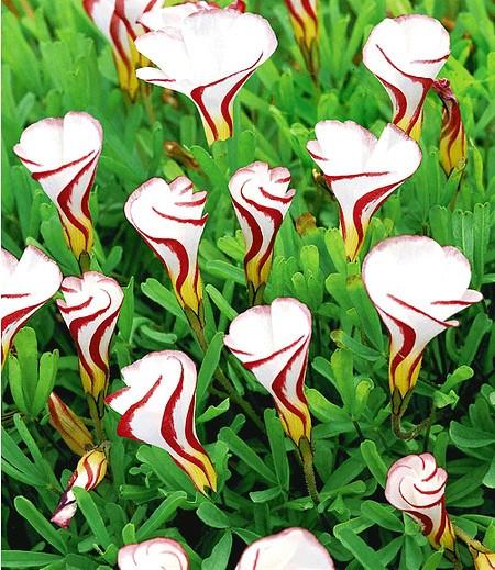 Oxalis versicolor,4 St.