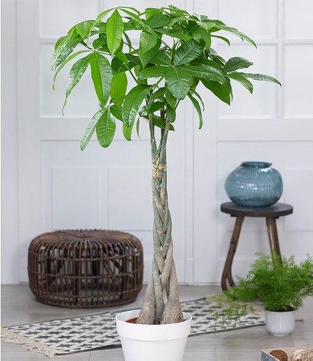 """Pachira """"Aquatica"""" ca 100 cmhoch,1 Pflanze"""