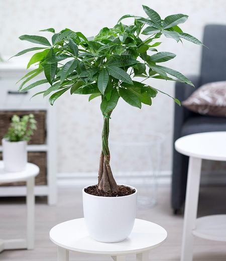 "Pachira ""Aquatica"",1 Pflanze"
