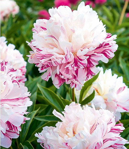 """Paeonia """"Candy Stripe®"""",1 Knolle"""